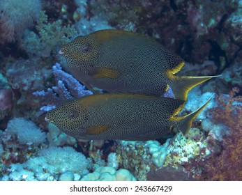 Coral fish Stellate rabbitfish in red sea