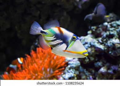 Coral fish WHITE-BANDED TRIGGERFISH (Colored Humu Picasso Triggerfish. Lagoon triggerfish) -  the official state fish of  Hawaii, where it is called  'snout like pig'