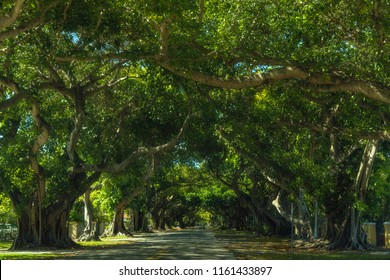 coral gables street trees in florida
