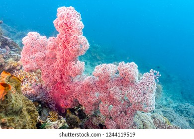Coral garden in Caribbean Dendronephthya isoft corals family Nephtheidae.