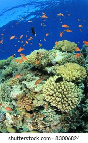 Coral Garden with Tropical Anthias Fish beside a deep water drop-off