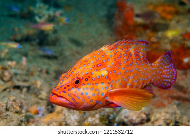 Coral grouper at the Atoll of the Maldives.