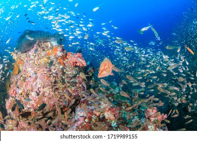 Coral Grouper (Coral Cod) on a colorful, underwater tropical coral reef