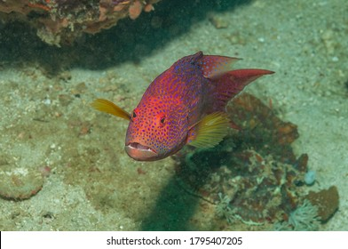 Coral grouper, coral cod, coral trout, round-tailed trout or round-tailed trout (Cephalopholis miniata) Mindoro, Philippines