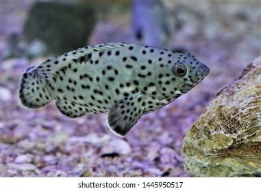 The coral grouper (coral rock-cod, duskyfin grouper) in marine aquarium. Epinephelus corallicola is marine fish in Serranidae family, commonly found in shallow silty reefs or estuarine area.
