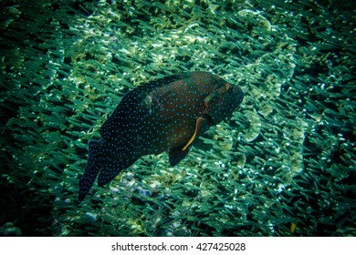 Coral grouper in the sea of Thailand