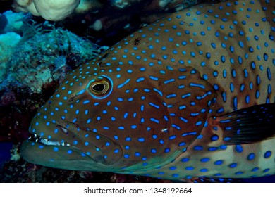 Coral Grouper(Plectropomus pessuliferus). Taking in Red Sea, Egypt.