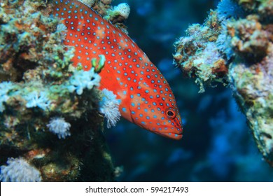 Coral hind grouper (Cephalopholis miniata) underwater in the coral reef of the Red Sea