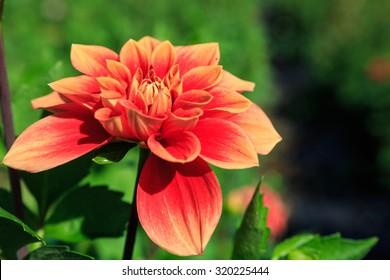 Coral orange dahlia flower is a herbaceous perennial plant in an outdoor autumn garden.