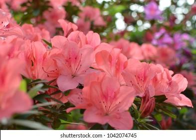 Coral pink azalea flowers. Coral pink azalea flowers in the garden. Season of flowering azaleas.
