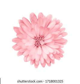 Coral or pink daisy flower.