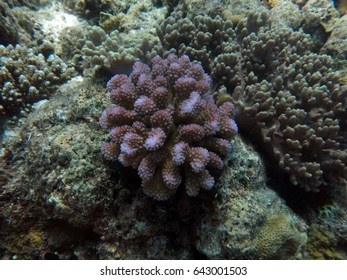 coral (Pocillopora sp.) found in coral reef area at Layang-layang Island, Sabah, Malaysia