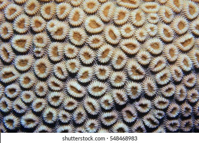 Coral polyps of brain coral (Favia favus) underwater in the coral reef