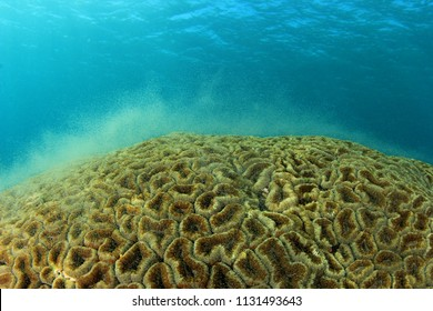Coral polyps spawning