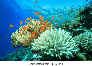Coral Reef with Acropora and Fire corals
