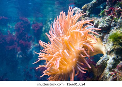 coral, coral reef, anemone
