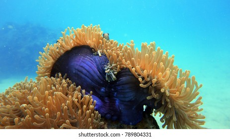Coral reef. Anemone fish. Diving. Underwater life landscape. Thailand underwater. High resolution