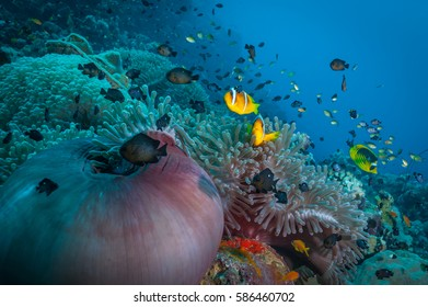 Coral reef anemone scene in Sudan. Magificent sea anemones with Red Sea anemonefish. Shoal of fish in background. Sudan