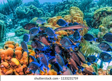 Coral reef in Carbiiean Sea Acanthurus coeruleus is a surgeonfish found commonly in the Atlantic Ocean