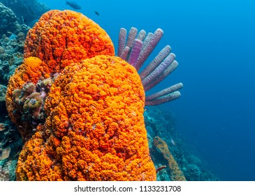 Coral reef in Carbiiean Sea Agelas clathrodes, also known as the orange elephant ear sponge,
