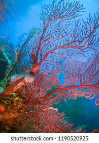 Coral reef in Carbiiean Sea close up gorgonian