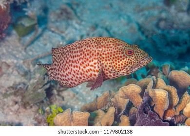 Coral reef in Carbiiean Sea, coney Cephalopholis fulva is a species of grouper