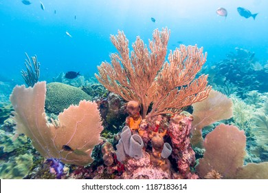 Coral reef in Carbiiean Sea garden scene of marine enviorment