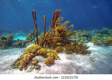 Coral reef in Carbiiean Sea off the coast of Bonaire in shallow water
