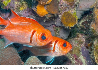 Coral reef in Carbiiean Sea, soldierfish  Myripristinae Holocentridae fish.