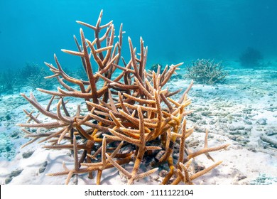 Coral reef in Carbiiean Sea staghorn coral (Acropora cervicornis) is a branching, stony coral with cylindrical branches