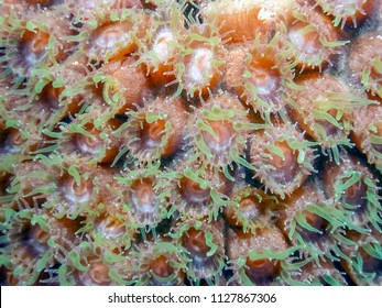 Coral reef in Carbiiean Sea star coral at night with extended polyp