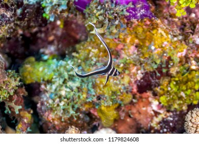 Coral reef in Carbiiean Sea,spotted drum or spotted ribbonfish,Equetus punctatus, is a species of marine fish in the family Sciaenidae.