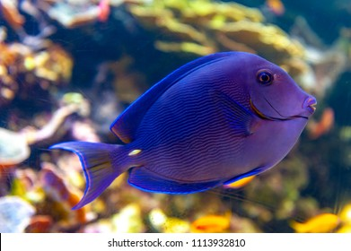 Coral reef fish with common name Atlantic Blue tang (Acanthurus coeruleus), blue barber, blue doctor, blue doctorfish, yellow barber, and yellow doctorfish, a surgeonfish found in the Atlantic Ocean
