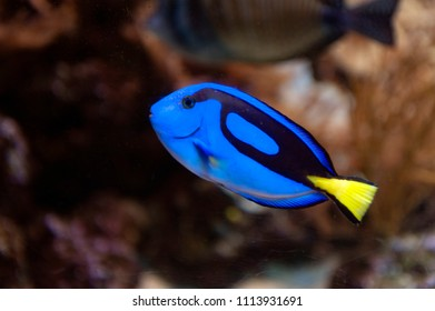 Coral reef fish in marine aquaria, regal blue tang, palette surgeonfish, or hippo tang, Indo-Pacific surgeonfish of Paracanthurus hepatus species with bright blue coloring, oval body and yellow tail