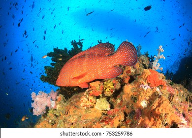 Coral reef, Grouper fish (Coral Trout) and scuba diving boat