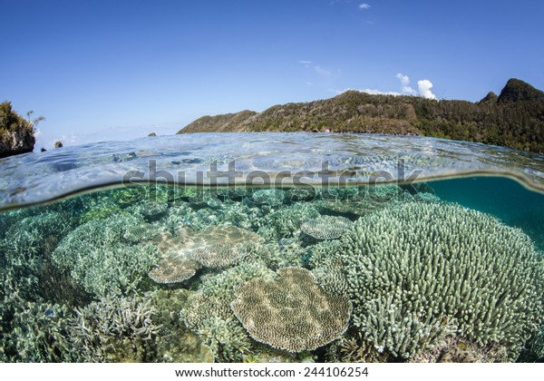 A coral reef grows in shallow water in Raja Ampat, Indonesia. This region is known as the heart of the Coral Triangle and contains more marine life than anywhere else on Earth.