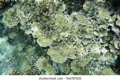 Coral reef growth in the Great Astrolabe Reef in the Pacific Ocean, Dravuni Island, Fiji