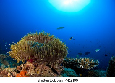 Coral reef with nemo anemone fish