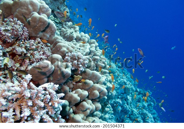 coral reef with porites corals  and exotic fishes anthias at the bottom of tropical sea isolated on blue water background
