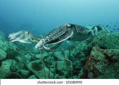 coral reef in the Red Sea in clear blue water with cuttle fish
