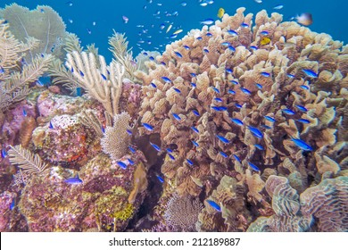 Coral reef in Roatan Honduras with Lettuce Leaf coral and Blue Chromis fish