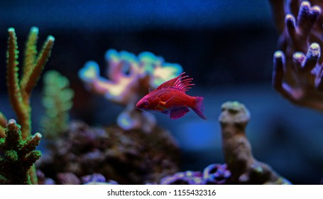 Coral reef safe flasher pink wrasse in aquarium