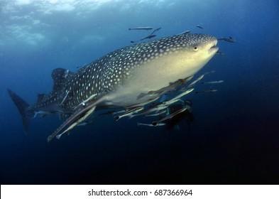 coral reef sea ocean fish diving blue shark