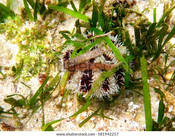 coral reef sea urchin underwater