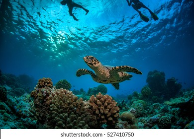 Coral reef with turtle underwater in Indian ocean