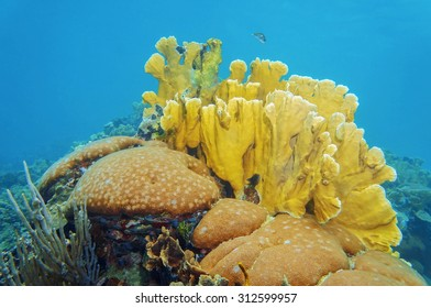 Coral reef underwater with massive starlet and bladed fire corals, Caribbean sea