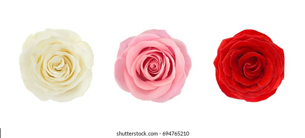 Coral rose flower. Detailed retouch