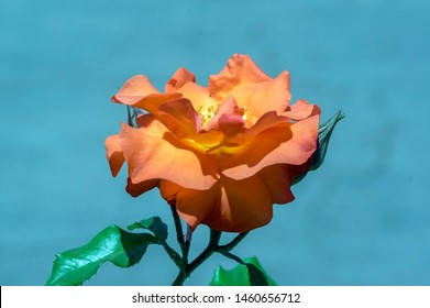 Coral rose isolated on the blue sky