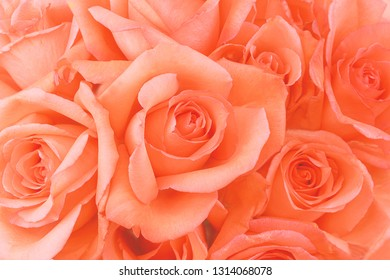 Coral roses are a soft and creamy background to highlight the color of the year