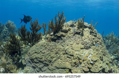 Coral Seascape underwater with triggerfish. Image  made  in The Bahamas